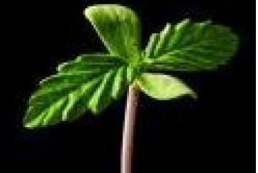 """Garden Of Weeden : cultivez et vendez de la """"beuh"""" sans risque sur votre smartphone"""